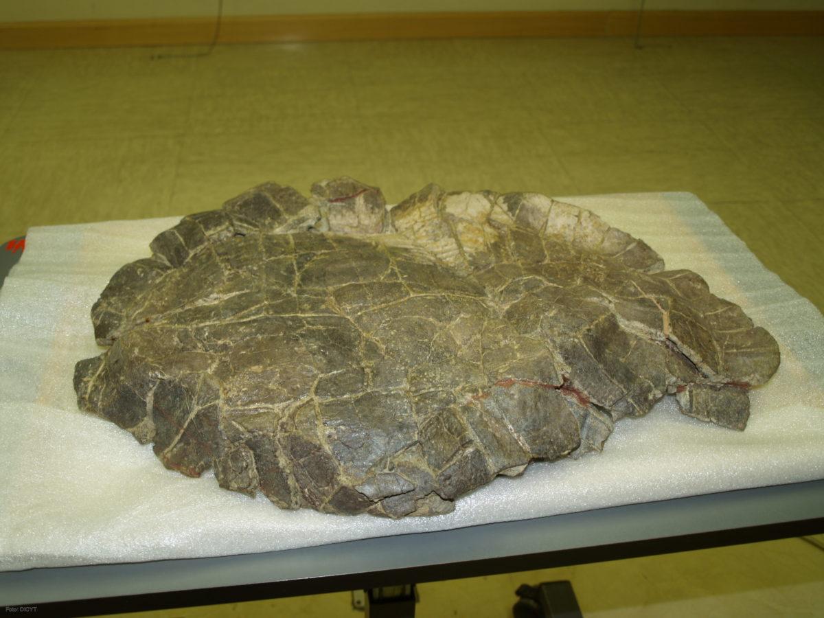Holotipo para el género Pelorochelón